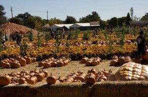 uesigi pumpkin patch from their website